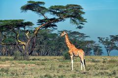 Ugandan giraffe Stock Photos