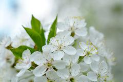 Cherry Flowers with water drops Kuvituskuvat