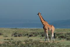 Ugandan giraffe ( Giraffa camelopardalis rothschildi ) - stock photo