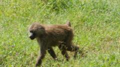 Baboon on a walk in Ngorongoro crater Tanzania Stock Footage