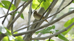 Common nightingale (Luscinia megarhynchos) singing from a tree. Stock Footage