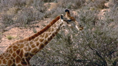 South African Giraffe eating leaves from tree in desert Stock Footage