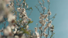 Beautiful spring flowering of almond - stock footage