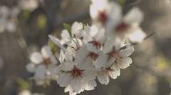 Beautiful spring flowering of almond - stock footage