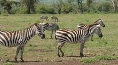Zebras grazing in the Ngorongoro crater - Tanzania 4K Stock Footage