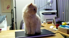 Persian cat sitting on computer and watching TV with 4k resolution Stock Footage