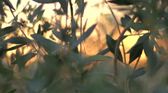 Details of olives in plantation field - Portugal. Stock Footage