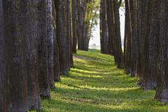 forest for the trees aligned - stock photo