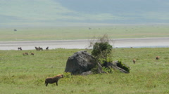Hyeanas walking and searching for prey in Ngorongoro crater Tanzania  Stock Footage
