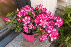 Potted flowers of pink azalea. Street decoration with plants and flower compo Stock Photos