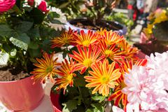 Potted flowers of chrysanthemum. Street decoration with plants and flowers. M Stock Photos
