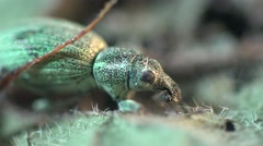 Insect Beetle Sitona Bagoinae is weevil subfamily in family Curculionidae, macro - stock footage