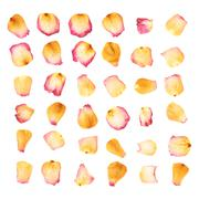 Pink rose flower petals isolated over the white background - stock photo