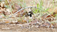 Baby Red-wattled Lapwing standing in nest. Stock Footage