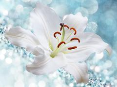 Lily flower on a blue background Stock Photos