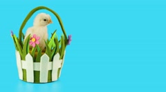 Little chicken sits in the basket and looking around, springtime, copy space Stock Footage