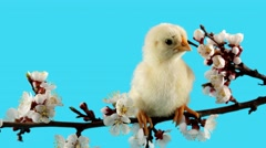 Springtime, little chick on the branch with flowers Stock Footage
