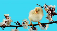 Spring background, one little chick on the branch with flowers Stock Footage
