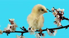Little bird (chicken) chirps on the blossom branch, Springtime Stock Footage