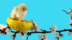 One little chicken sits in the nest on the branch with flowers Stock Footage