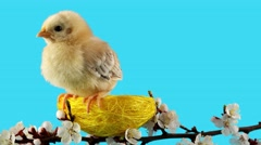 Springtime, little bird (chicken) sitting in the nest on blossom branch Stock Footage