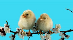 Easter, two little chicken sits on the branch with flowers Stock Footage