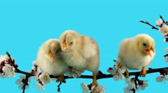 Spring background, three little chick sits on the branch with flowers - stock footage