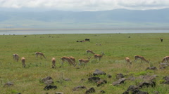 Gazelles in the Ngorongoro crater Tanzania - 4K Stock Footage