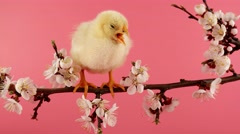 Happy Easter, little chicken sits on the blossom tree branch, pink background Stock Footage