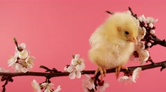 Springtime, little chicken (bird) sits on the branch with flowers and chirps Stock Footage