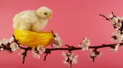 Easter background, three little chicken sits on the blossom tree branch Stock Footage