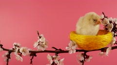 Springtime, little chicken sits in the nest on the blossom tree branch Stock Footage