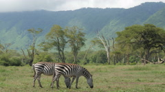 Zebras grazing in the Ngorongoro crater - Tanzania 4K Stock Footage