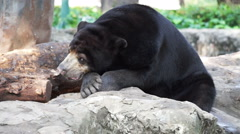Helarctos malayanus sun bear with white V shape fur at chest Stock Footage