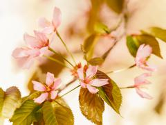 Pink Sakura Flowers - stock photo