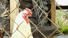 Chicken rooster barn Stock Footage