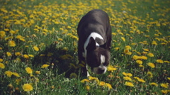 Boston Terrier Dog Sniffing Flowers in Field of Dandelions Stock Footage
