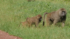 Baboons on the road in Serengeti national park - Tanzania Stock Footage