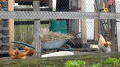 chicken rooster barn - stock footage