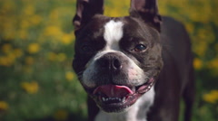 Cute Boston Terrier Puppy Dog Panting on Hot Day Stock Footage