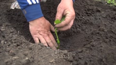 Woman planting vegetables at community garden Stock Footage