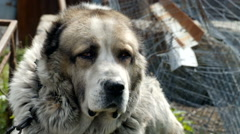 Large and sometimes angry dog Stock Footage
