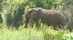 Huge African elephant in the Ngorongoro crater Tanzania 4K Stock Footage