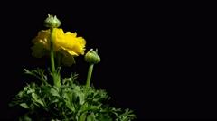 Ranunculus Flower Time-Lapse - stock footage