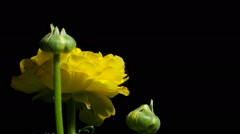 Ranunculus Flower Time-Lapse Stock Footage