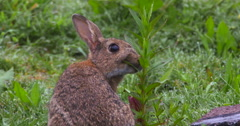 Wild Rabbit nibbles and chews on green plant 2K Slow Motion - stock footage