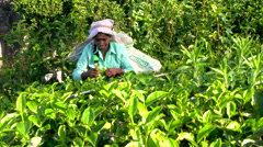 Tea pickers working on tea estate, Central Highlands, Sri Lanka Stock Footage