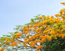 Peacock flower tree - stock photo