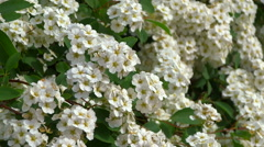 Spiraea alpine spring flower - white flowering shrub. Stock Footage