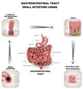 Normal Gastrointestinal tract and small intestine detailed anatomy Stock Illustration